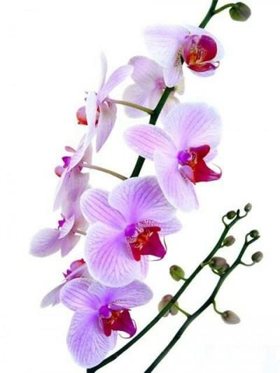 орхидея эскиз тату: